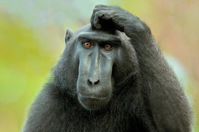 Aclaración: Macaco no es muñeco